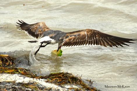 Shorebird catches an apple, Everglades National Park