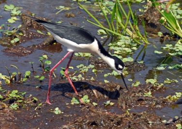Black-necked stilt clears debris from nest area.