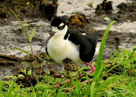 Black-necked Stilt chicks tuck under mother's wing.