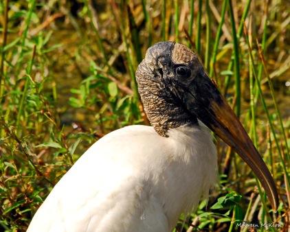 Wood Stork at Green Cay
