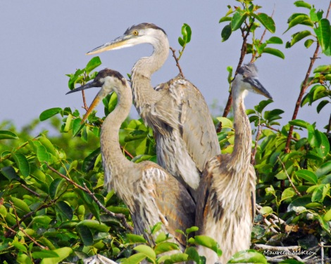 Young great blue heron siblings on the rookery tree.