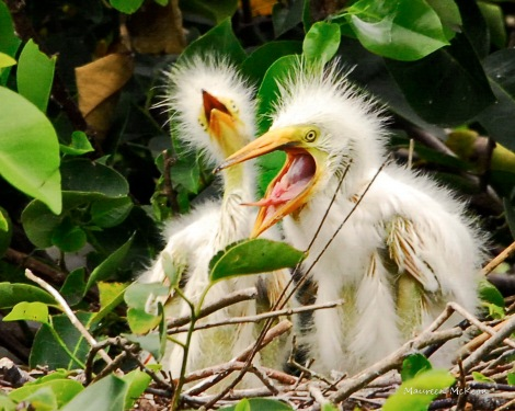 Hungry cattle egret chicks
