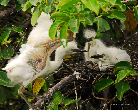 Cattle egret chick shows siblings how to flap wings
