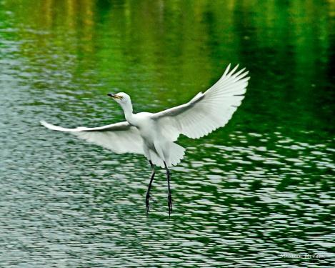 Cattle egret fledging in flight at Wakodahatchee Wetlands
