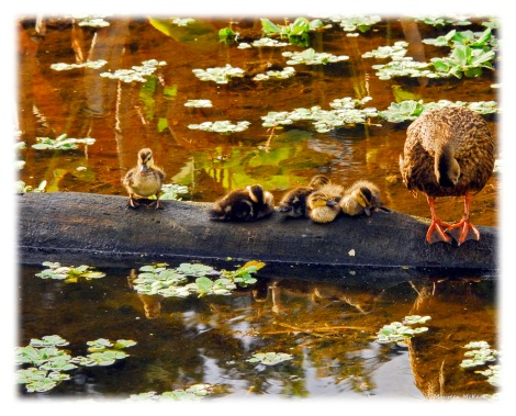 Mother mottled duck and five ducklings.