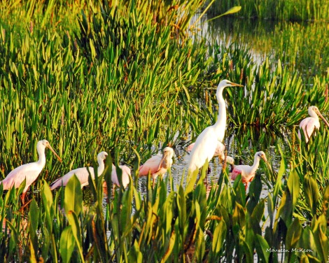 Roseate spoonsbills and white egret