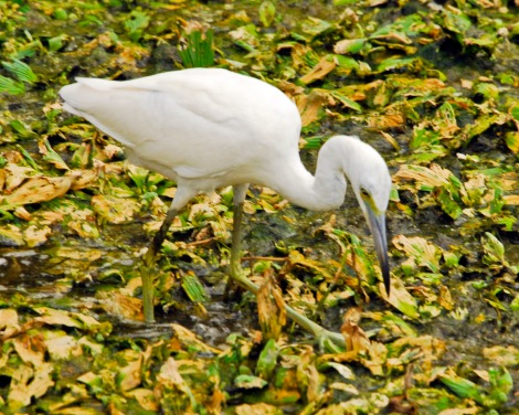 Little blue heron juvenile before caught by alligator.