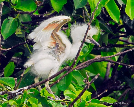 Cattle egret chick flaps its wings.