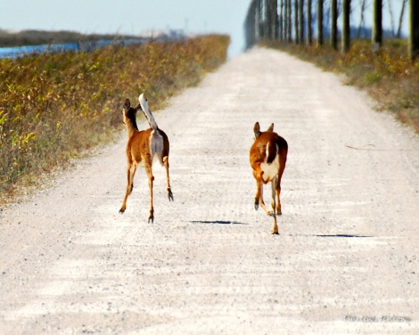 Two white tail deer out for a run.
