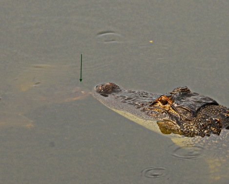 Unlikely pals - a turtle gives an alligator a kiss.
