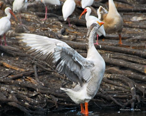 Goose missing half a wing at Flamingo Gardens