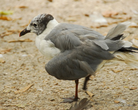 Gull with a broken wing at flamingo gardens