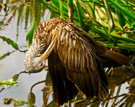 A Limpkin preening its feathers.