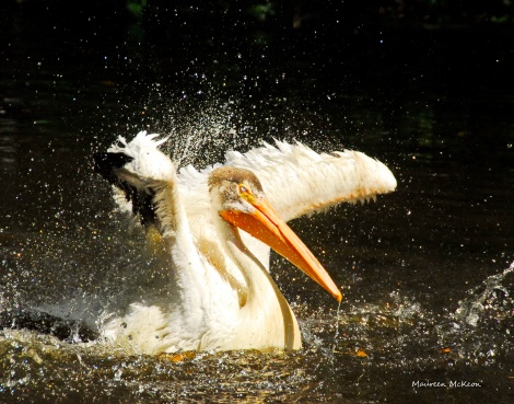 Walter the pelican takes a bath at Flamingo Gardens