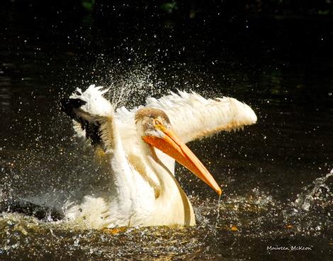 Walter the pelican takes a bath at Flamingo Gardens