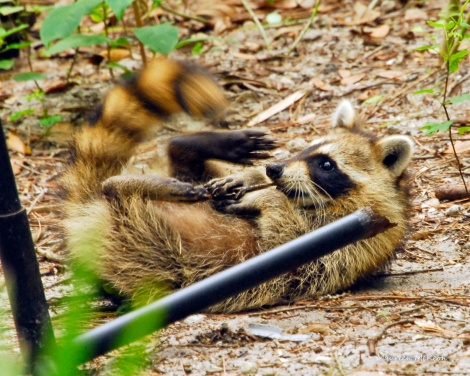 This racoon cub loves to play.