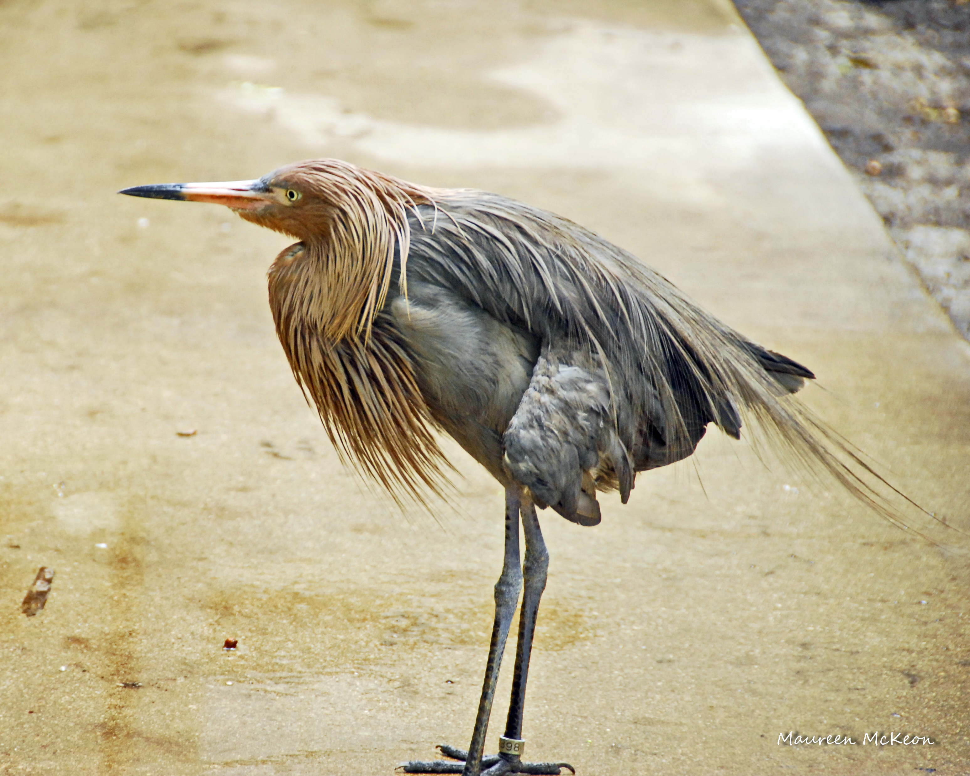 Red the reddish egret at flamingo gardens
