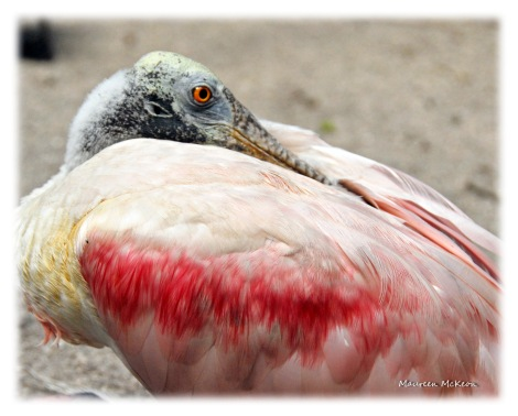 Injured roseate spoonbill in Flamingo Gardens aviary.