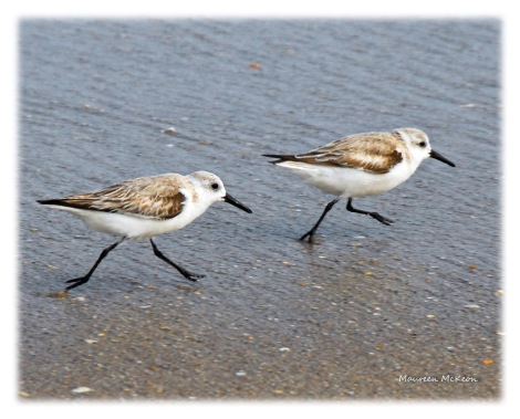 Two shorebirds strolling near the ocean.