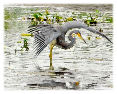 Tricolored Heron looking for dinner.