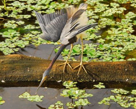 Tricolored heron sticks his neck out for a fish.