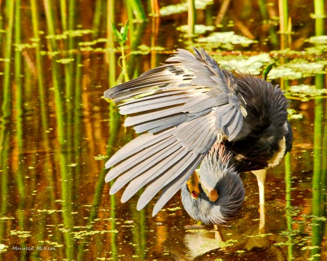 Tricolored heron grooming.