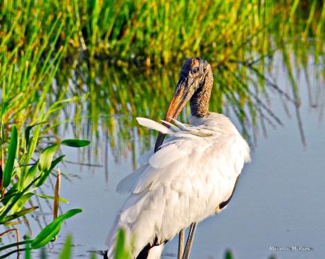 Wood stork grooming at Green Cay