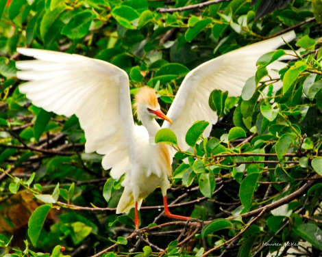 Cattle Egret keeps his balance