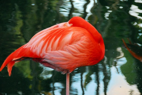 Sleeping Caribbean Flamingo
