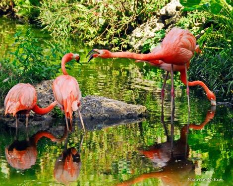 A flock of Caribbean flamingos Flamingo Gardens