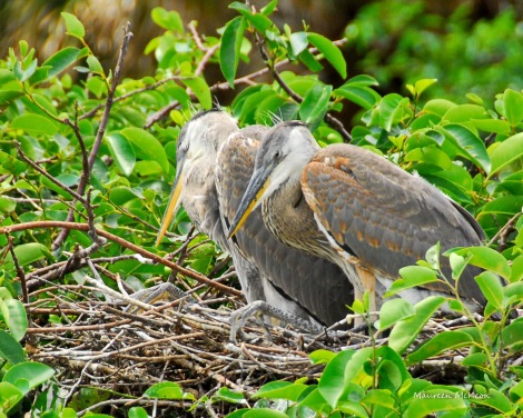 Juvenile great blue herons getting ready for a nap