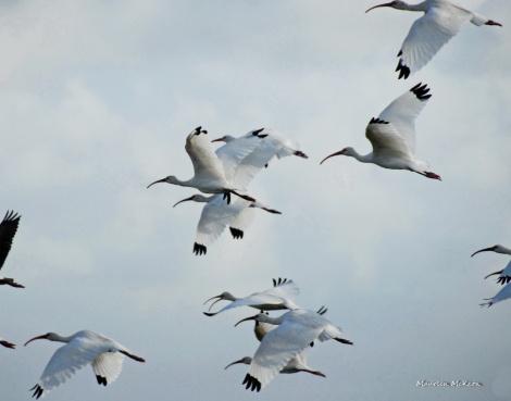 White ibis in flight, Loxahatchee Nature Refuge