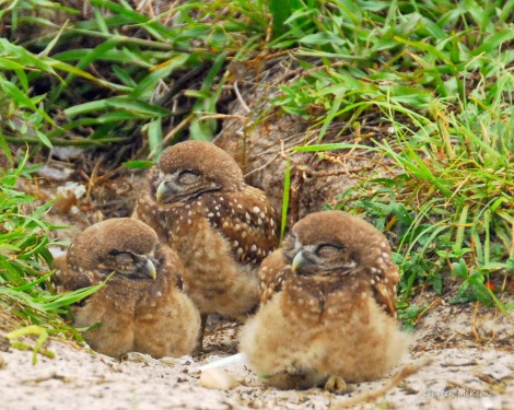 Sleepy burrowing owls