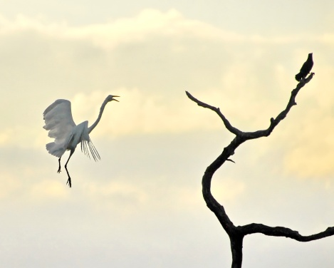 Great egret lands on a dead tree