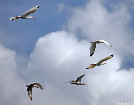 Flock of ibis fills the sky