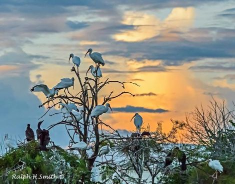 Ibises at sunset - photo by Ralph Smith