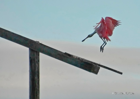 Roseate spoonbill landing on a post