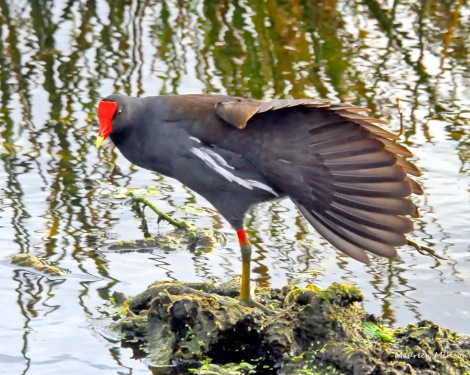 Common gallinule stretches its leg