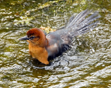 Female grackle taking a bath