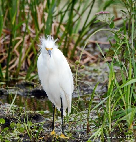 Snowy egret having a bad hair moment