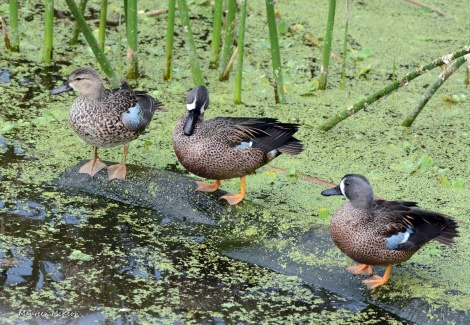 Trio of blue-winged teal hanging out.
