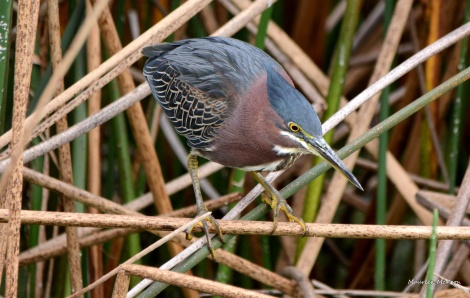 Green heron waits for fish