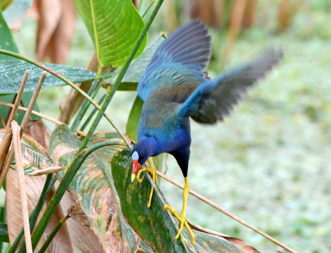 Purple gallinule catches his balance