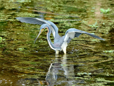 Tri-colored heron