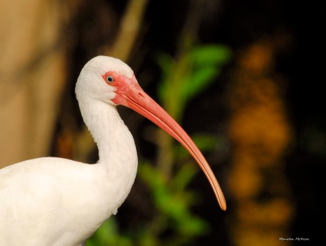 The ibis always looks like he's smiling!