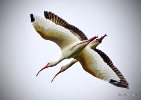 Pair of ibis traveling together
