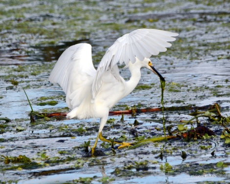Snowy Egret at Green Cay Wetlands