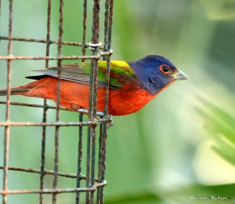 Painted bunting leaving the feeder